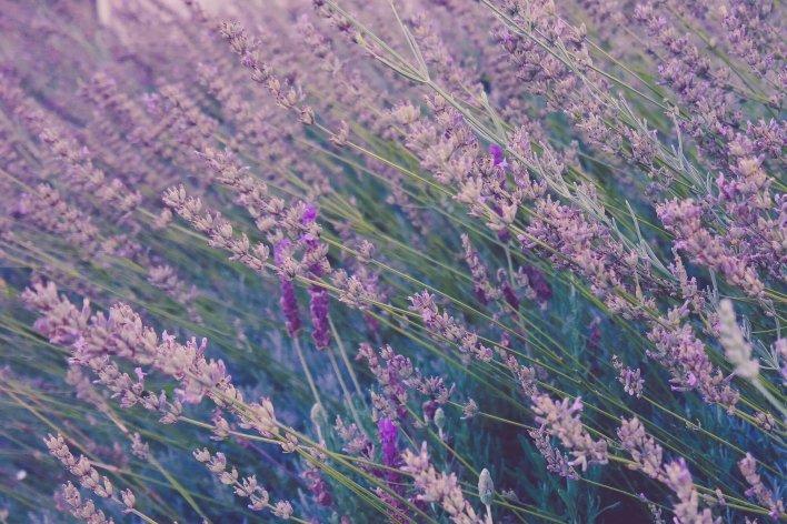 Gros plan sur un champs de lavandes en fleurs