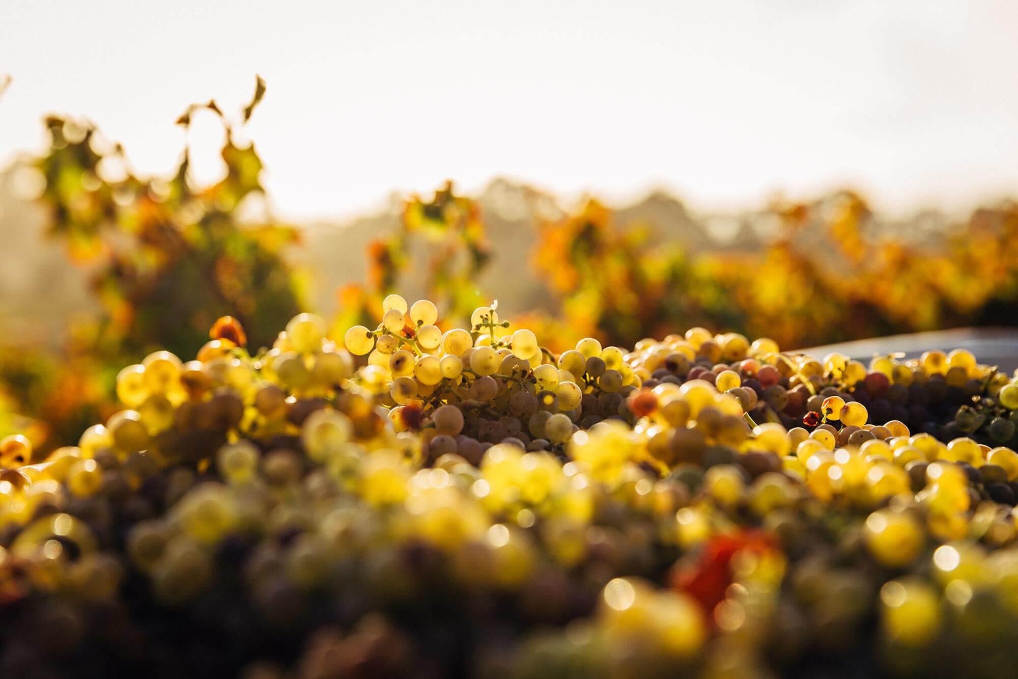 Gros plan sur des pieds de vignes