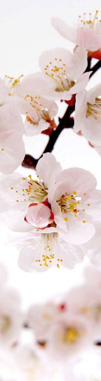 Zoom sur des fleurs blanches Ume