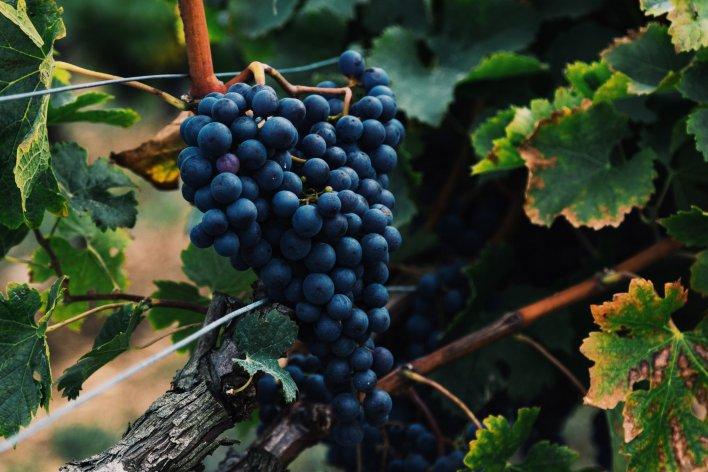 Gros plan sur une grappe de raisin noir dans la vigne