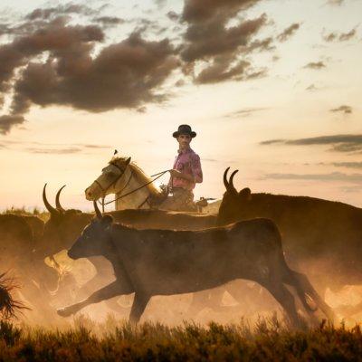 Chevauchée d'un homme sur un cheval au milieu d'un troupeau de taureaux avec le couché de soleil en arrière plan