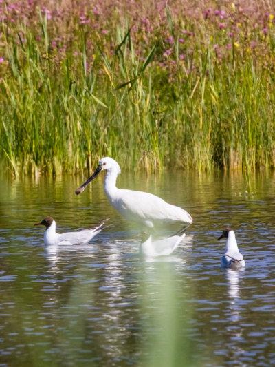 Trois oiseaux en train de nager au coeur de la rivière.