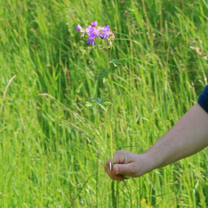 fleur sauvage cueillie par une main