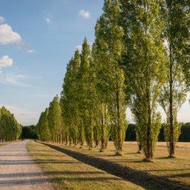 Allée verdoyante avec arbre en alignement parallèle