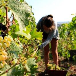 vendangeuse-en-train-de-couper-une-grappe-de-Chardonnay-avec-zoom-sur-le-Chardonnay