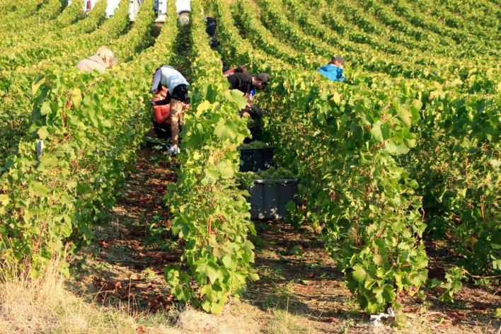 Vignoble avec vendangeurs