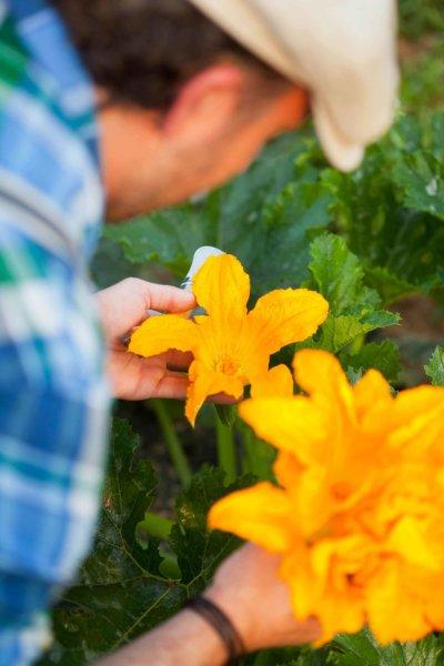 Homme qui cueille une fleur de courgette
