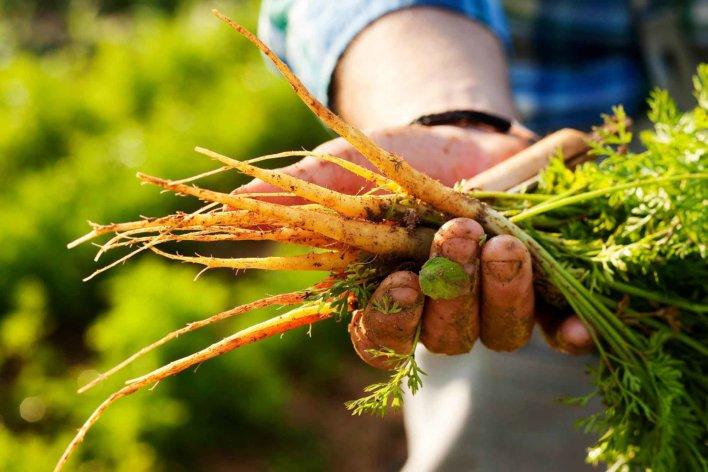 Botte de carottes tenues dans une main