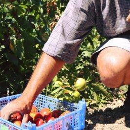 Une main prend une tomate dans une cagette