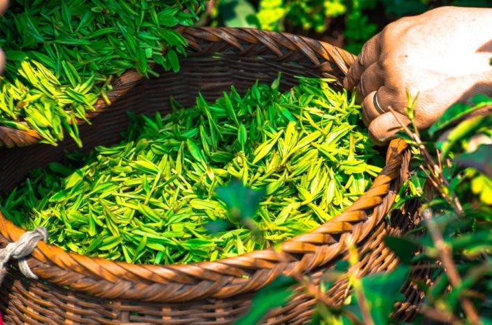 Feuilles de thé avant le séchage © Ascyrafft Adnan Pixabay