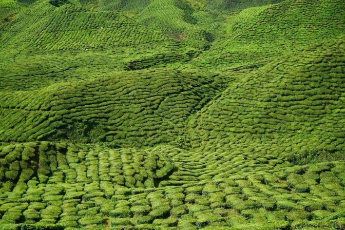 Plantations de thé © Engin Akyurt Pixabay
